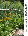 Marigolds In Vegetable Garden