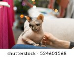 a mottled peterbald in the... | Shutterstock . vector #524601568