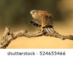adult male of common kestrel... | Shutterstock . vector #524655466