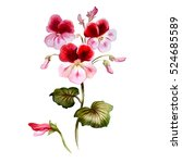 geranium in watercolor.... | Shutterstock . vector #524685589