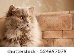 Cat  Lilac British Longhair