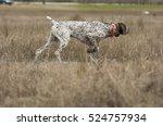 german shorthaired pointer dog... | Shutterstock . vector #524757934