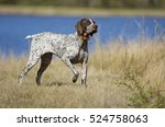 german shorthaired pointer dog... | Shutterstock . vector #524758063
