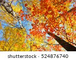 colorful leaves in fall season | Shutterstock . vector #524876740