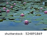 water lily or lotus  aquatic... | Shutterstock . vector #524891869