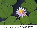 water lily or lotus  aquatic... | Shutterstock . vector #524895073