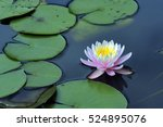 water lily or lotus  aquatic... | Shutterstock . vector #524895076