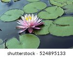 water lily or lotus  aquatic... | Shutterstock . vector #524895133