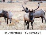 a bull elk bugles a challenger...   Shutterstock . vector #524896594