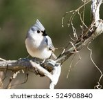 A Tufted Titmouse Perched On A...
