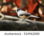 Feeding Tufted Titmouse