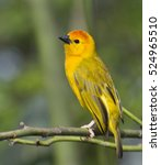 Small photo of Taveta Golden Weaver making a nest