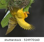 Taveta Golden Weaver Making A...