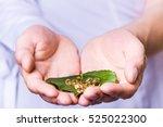 medicine herb. herbal pills in... | Shutterstock . vector #525022300