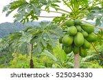 Nature Fresh Green Papaya On...