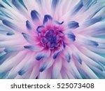 dahlia  flower  white pink blue.... | Shutterstock . vector #525073408