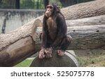chimpanzee sitting on a stem of ...   Shutterstock . vector #525075778