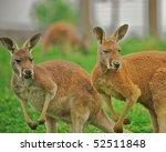 Two Alert Kangaroos Standing O...