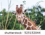 Giraffe Eating A Leaves From...