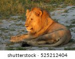 The Lion  Panthera Leo ...