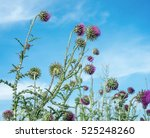Thistle Flowers Field On Blue...