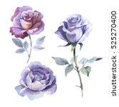 wildflower rose flower in a... | Shutterstock . vector #525270400