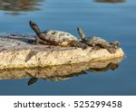 Two Water Turtles On The Rock...