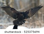 bird   flying black common... | Shutterstock . vector #525375694