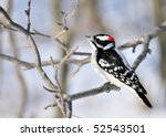 A Male Downy Woodpecker Perched ...