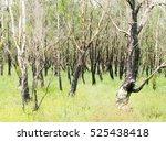 Burnt Trees After A Forest Fir...