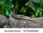 lizard  tropical garden  monte  ... | Shutterstock . vector #525440683