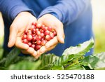 close up red berries coffee... | Shutterstock . vector #525470188