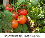 Tomato Cluster And Crops With...