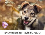 Stock photo cute brown puppy smiling funny tongue hanging out 525507070