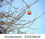 Single Red Last Apple On Tree...