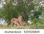 Lions With Cubs In A Grove Of...