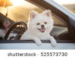 Stock photo beautiful pomeranian dog cute dog in car sunset 525573730