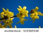 Forsythia Yellow Spring Shrub...