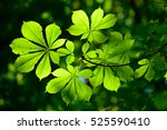 Chestnut Tree Twig  Fresh Gree...