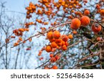 ripe persimmon on a tree in... | Shutterstock . vector #525648634