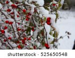 Branches Of Wild Rose Hips Wit...