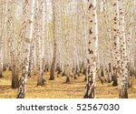 spring birch forest - stock photo