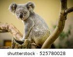 koala bear climbing a branch in ... | Shutterstock . vector #525780028