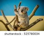 Koala Bear Climbing A Branch I...