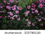 Wild Pink Roses Background....