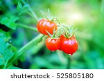 Tomato Growing In  Organic Farm