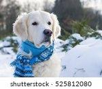 Adorable Golden Retriever Dog...