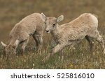 Bighorn Lambs On Mt. Washburn...