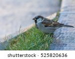 the house sparrow  passer... | Shutterstock . vector #525820636