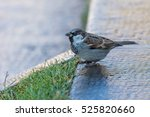 the house sparrow  passer... | Shutterstock . vector #525820660